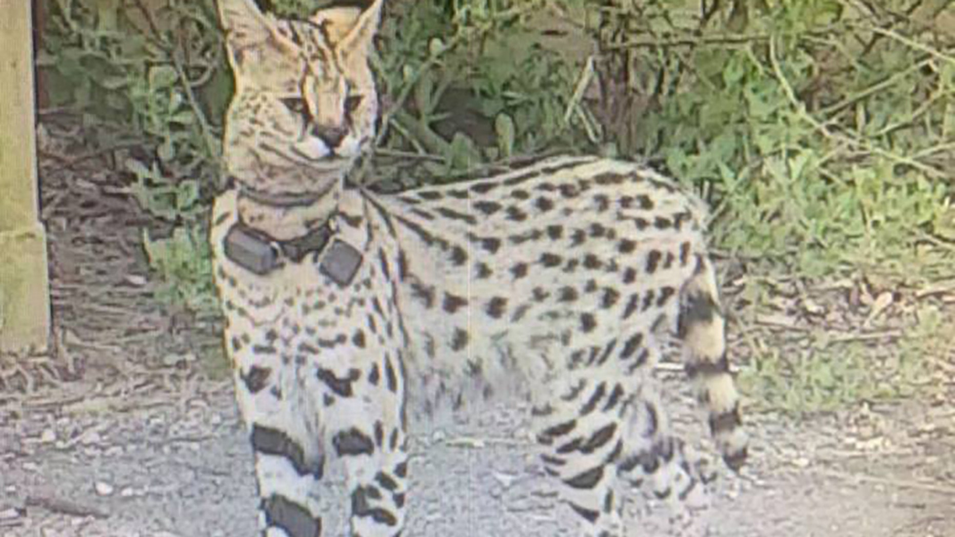 An exotic cat native to Africa has been spotted in Virginia Beach, officials said Wednesday.