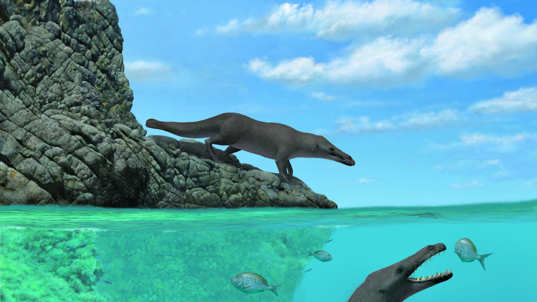 This illustration shows an artistic reconstruction of two individuals of Peregocetus, one standing along the rocky shore of nowadays Peru and the other preying upon sparid fish. The presence of a tail fluke remains hypothetical. Credit: A. Gennari