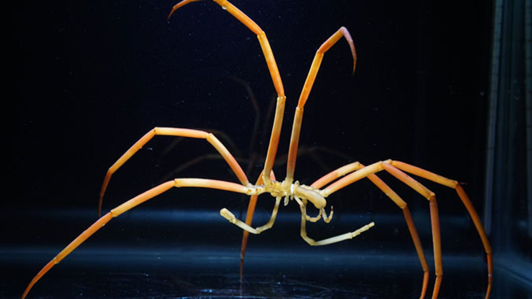 The giant sea spider (<i>Colossendeis robusta</i>) has a special way of getting enough oxygen in the cold Antarctic.