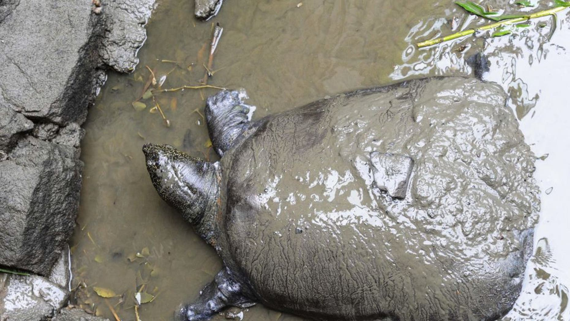 The world's last known female Yangtze giant softshell turtle (seen here in 2015) died at China's Suzhou Zoo this weekend, leaving only 3 individuals of the species left on Earth.