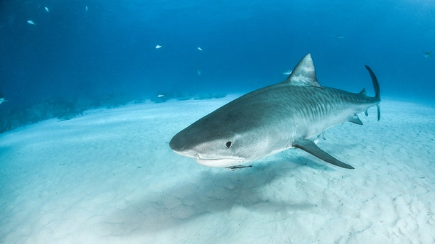 """Fishing captain Chip Michalove, known as the """"shark whisperer"""" said he is worried that too many tiger sharks are being killed every year, since it is legal to catch and kill them in South Carolina. (Stock image)"""
