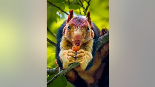 The stunning rodents, which are also known as the Indian giant squirrel, are double the size of the eastern grey squirrel, with bodies measuring 36 inches from head to tail. (Credit: SWNS)