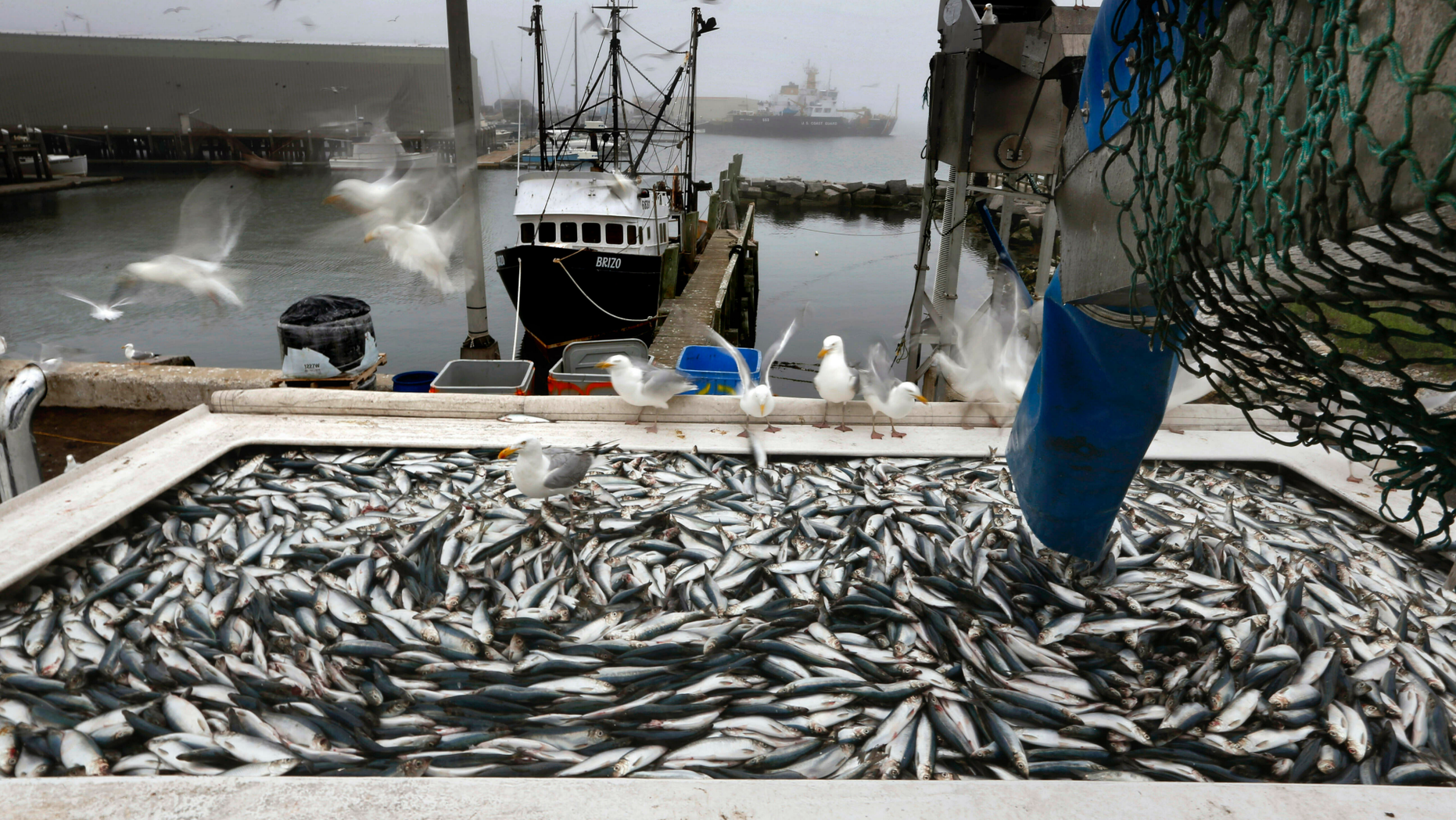 FILE - In this July 8, 2015 file photo, herring are unloaded from a fishing boat in Rockland, Maine. Herring are the most important bait source for the lobster fishery. Regulators are contending with a drop in the herring population on the East Coast. Cuts in the catch quota will mean the total haul for 2019 will be less than a fifth of the 2014 harvest. (AP Photo/Robert F. Bukaty, File)