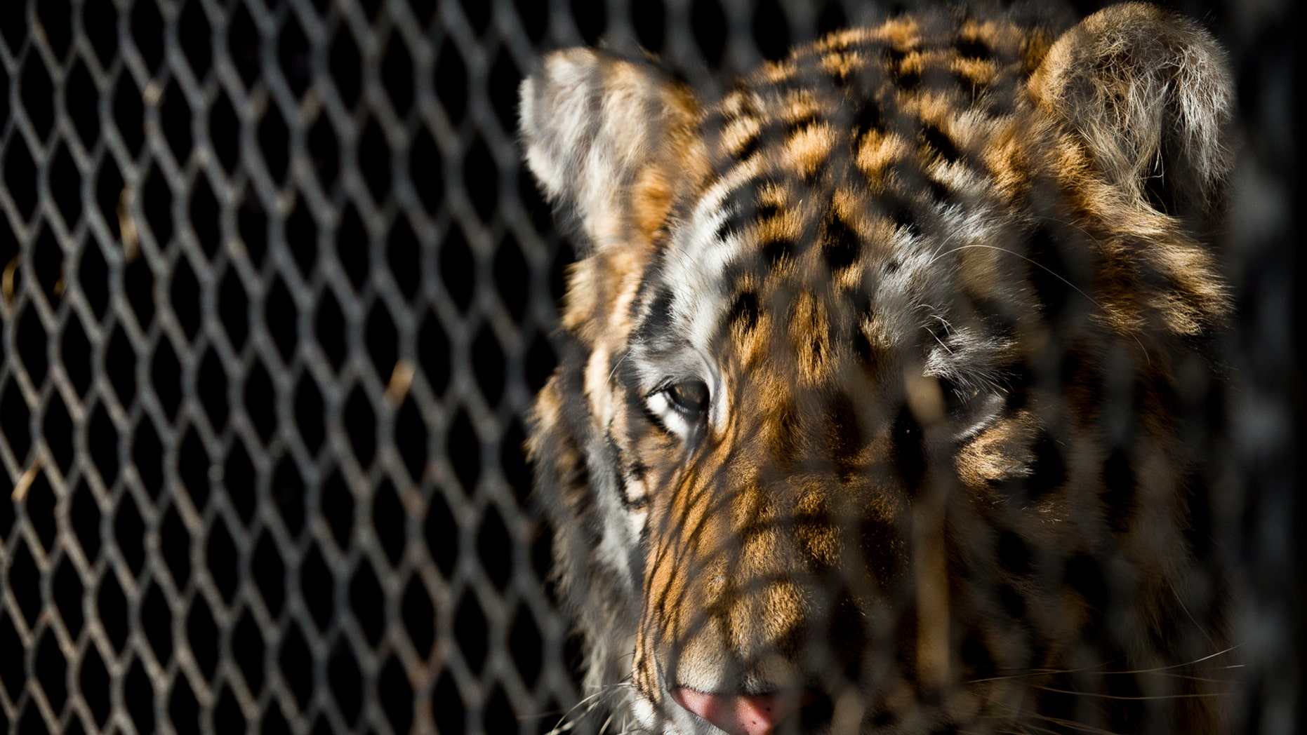 FILE - In this Feb. 12, 2019, file photo, a tiger that was found in a Southeast Houston residence awaits transport to a rescue facility at the BARC Animal Shelter and Adoptions building in Houston. The ex-owner of a tiger rescued from a filthy cage in an abandoned house in Houston has been charged with animal cruelty. Houston police, Wednesday, May 15, 2019, arrested 24-year-old Brittany Garza on the misdemeanor count involving a non-livestock animal. (Godofredo A. Vasquez/Houston Chronicle via AP, File)
