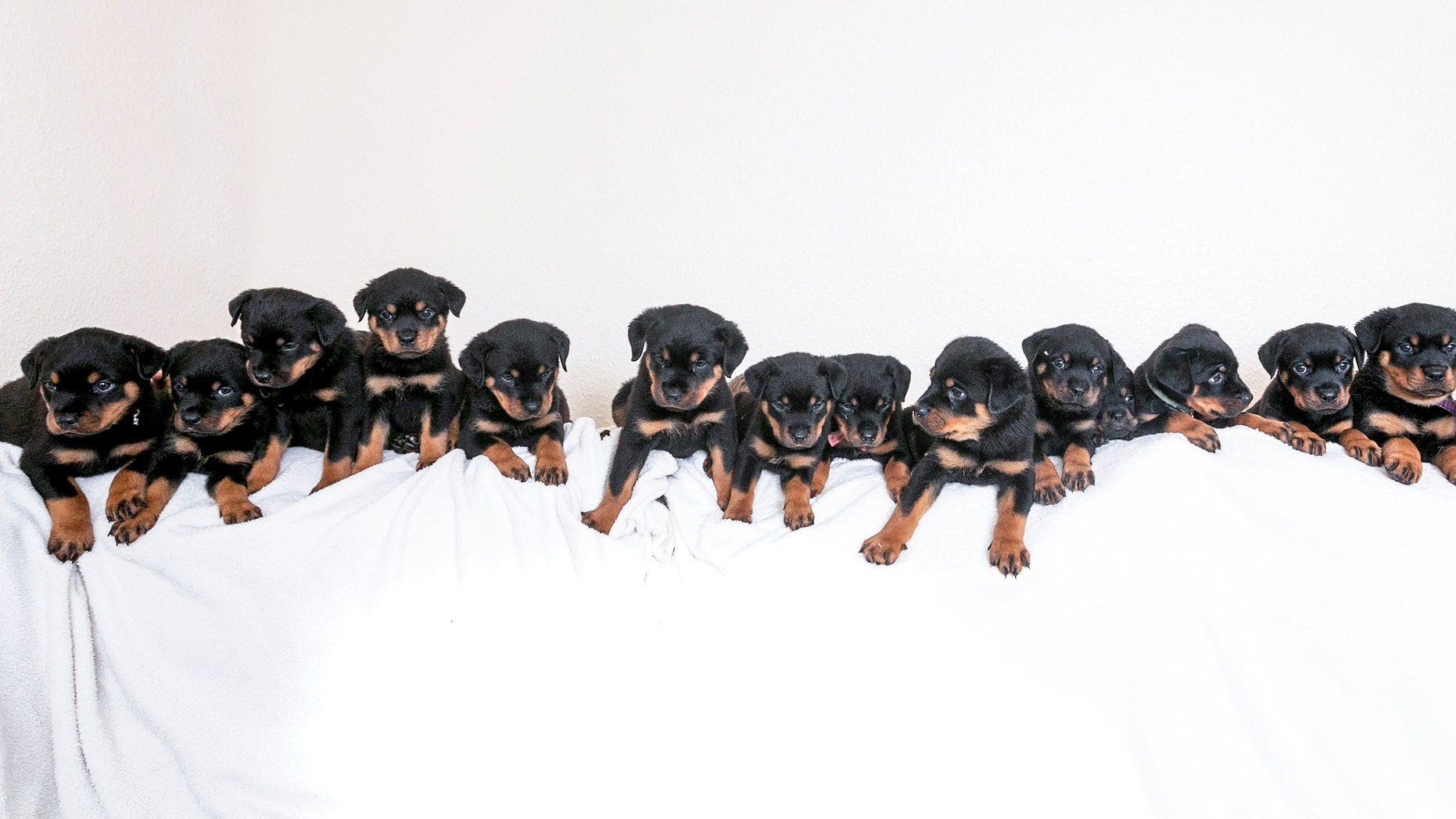 Corporal Mark Marshall's happy litter of sixteen puppy Rottweilers at his home in Preston, Lancashire.