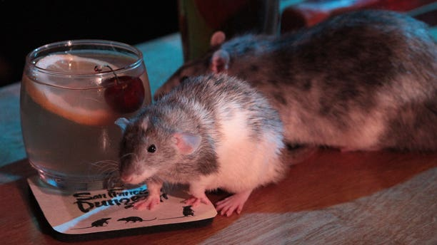 After the history lesson, guests are shuffled off to the Rat Bar where they are able to touch and hold live rodents provided by the Ratical Rodent Rescue for 30 minutes.