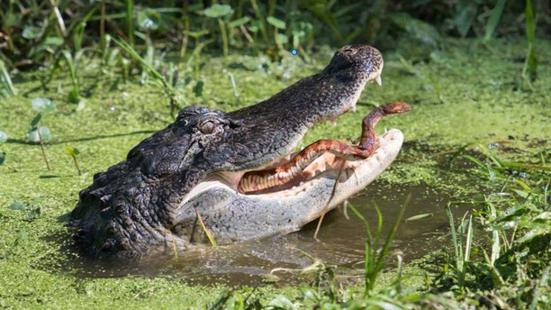 Jesse and Linda Waring, who run BirdWalk Photography, were walking around the Circle B Bar Reserve in Lakeland, Fla., over the weekend when Jesse saw an alligator with a snake in its mouth.