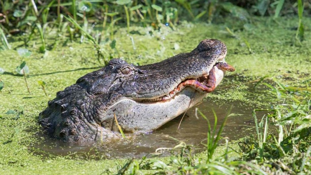 "Within about 10 minutes, the gator had won, Linda told News 6. ""In the end, the snake finally lost the battle when the jaws of the gator made a direct hit down the length of his body. It was a hard fought battle,"" she said."