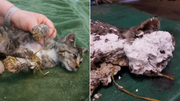 An 8-week old male kitten was discovered encased in spray foam and hanging upside down in a trash can in Oregon earlier this month.
