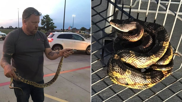 """The one person bit by the large rat snake was a man known as """"The Snake Charmer"""" brought in to contain the reptile."""