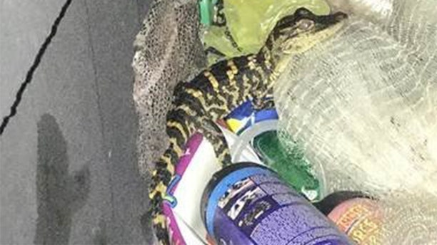 A 25-year-old woman pulled an alligator from her pants during a traffic stop on Monday, investigators said.