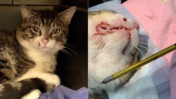 """A """"community cat"""" in Howell, N.J., was recovering after being shot in the face with a crossbow, authorities said."""