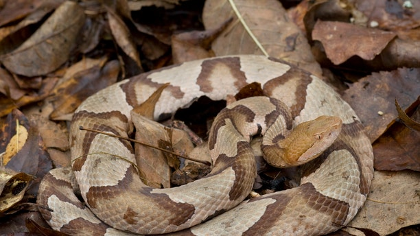 While copperhead snakes are venomous, they usually avoid humans, according to thePennsylvania Fish and Boat Commission. (iStock)