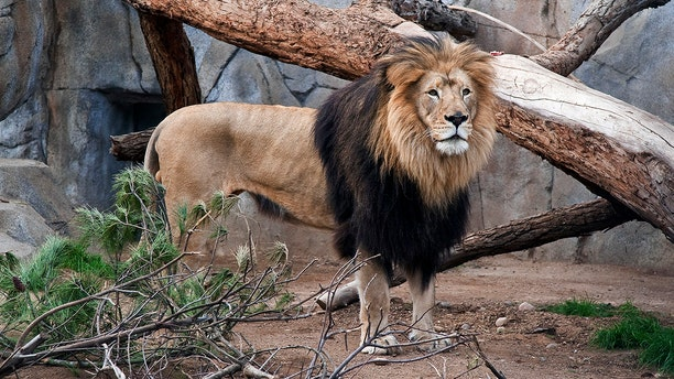 """Zoo staff remembered M'bari as a """"majestic"""" lion often seen lounging with his mate in their habitat. (AP File)"""