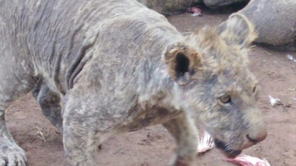 Neglected lions with mange and other illnesses were discovered at a breeding facility in South Africa.