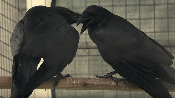 New parents,Huginn and Muninn, are the first pair in the Tower of London's raven breeding program.