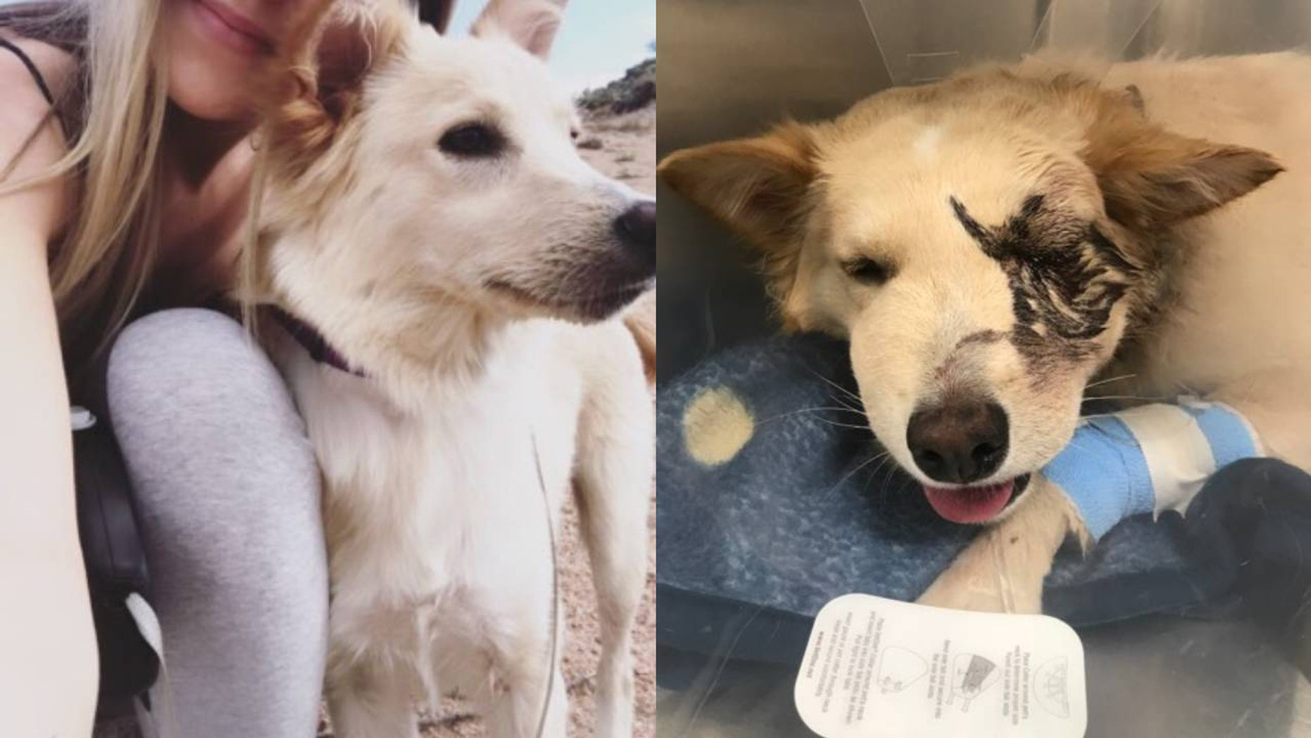 An Arizona woman has set up a GoFundMefor her beloved dog who now needs its eye removed after being attacked by a rattlesnake during a hike in the Superstition Mountains. (Nicole Hardenbrook)