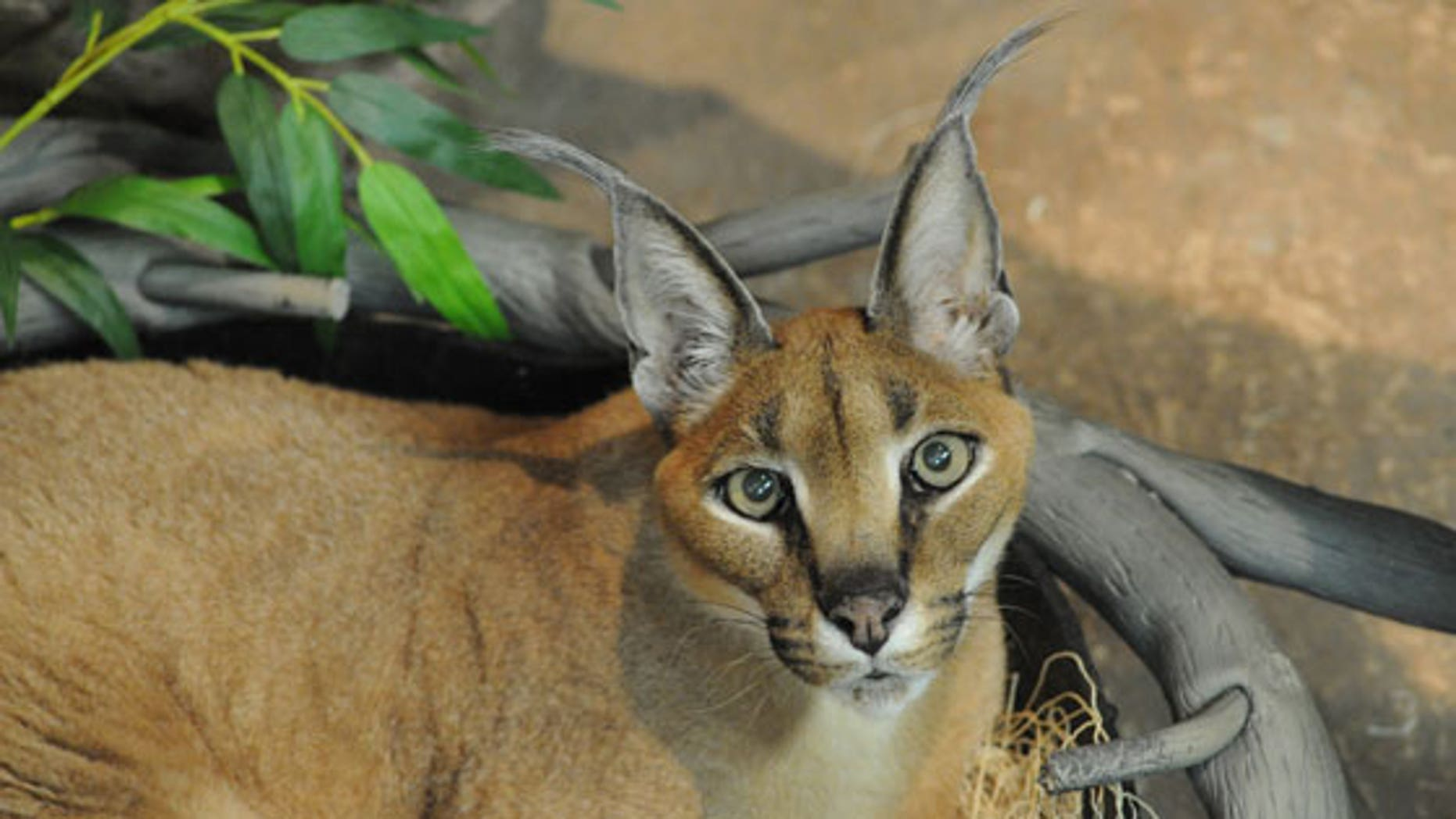 Westlake Legal Group Caracal_560x373.jpg Large exotic cat mauls mom, child in Illinois, report fox-news/us/us-regions/midwest/illinois fox-news/lifestyle/pets fox news fnc/us fnc b005d112-33e5-554d-96df-c48168e07b8e article