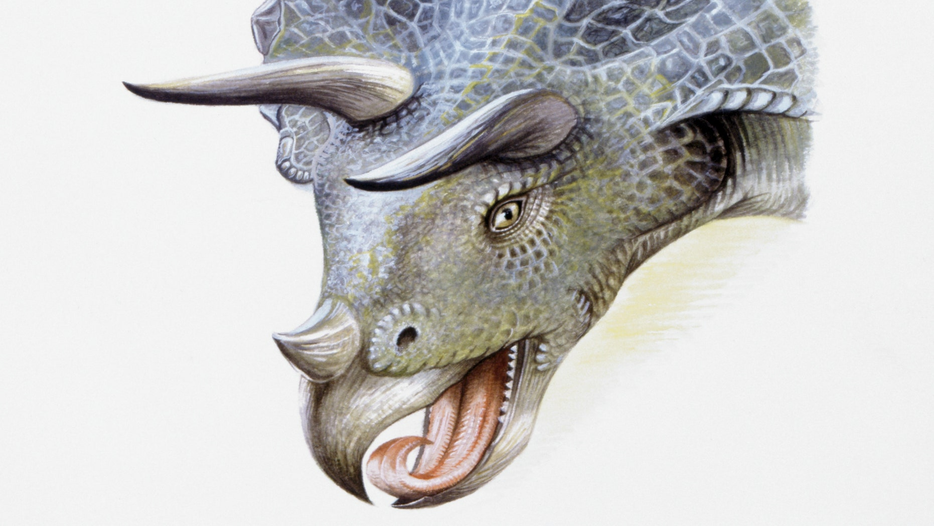 Illustration of Triceratops, close up.
