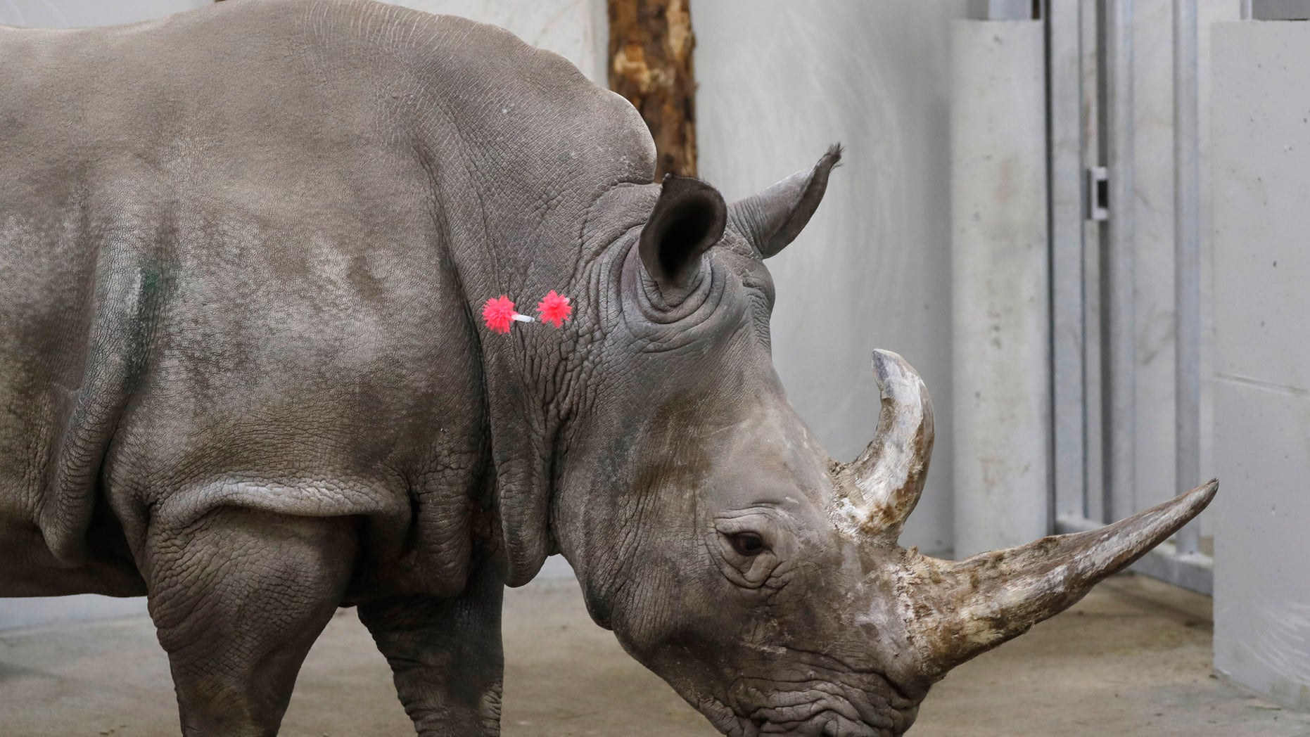 FILE - In this Wednesday, Feb. 13, 2019 file photo, female southern white rhino, 17-year-old Hope, is shot with tranquilizing darts, so a team of experts can harvest her eggs, at a zoo park in Chorzow, Poland. Scientists in Europe said Tuesday June 25, 2019, they have successfully transferred a test tube rhino embryo back into the female whose eggs were fertilized in vitro, as part of an effort to save another nearly extinct sub-species of the giant horned mammal. (AP Photo/Petr David Josek, File)