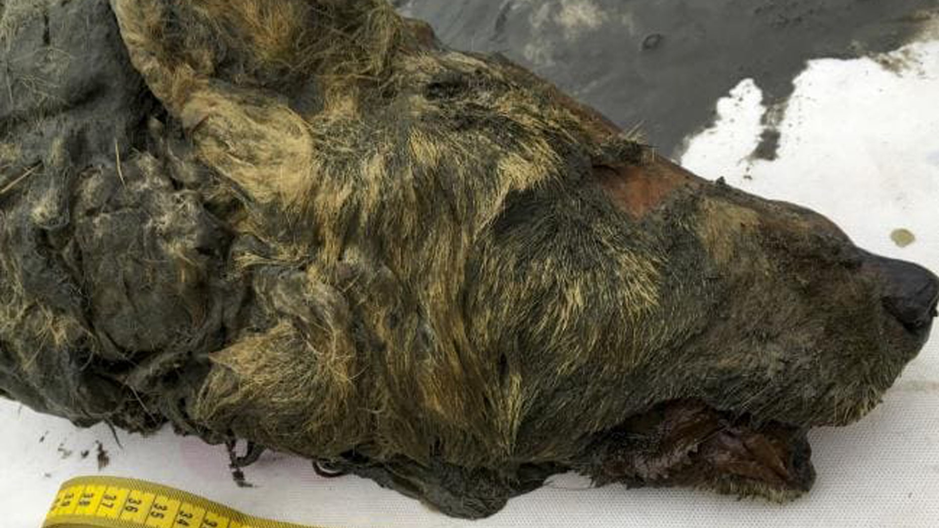 In this Sept. 6, 2018, photo, the head of an Ice Age wolf is seen after it was found during an expedition near Belaya Gora, Abyysky region of Sakha Republic, Russia. (Albert Protopopov/Mammoth Fauna Study Department at the Academy of Sciences of Yakutia via AP)