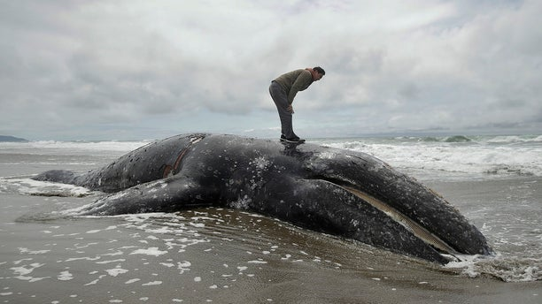 In this May 6 photo, Duat Mai stands atop a dead whale at Ocean Beach in San Francisco. (AP Photo/Jeff Chiu, File)