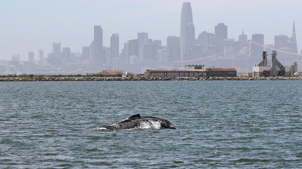 The humpback has remained in the waters near Alameda for more than two weeks. (Bill Keener/Marine Mammal Center via AP)