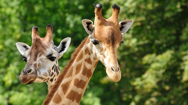 Two giraffes that died last month at a Florida wildlife park were killed by lightning, officials said Tuesday.
