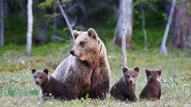 A mother grizzly bear and her two cubs were struck and killed by freight trains in two separate incidents earlier this month, according to officials.