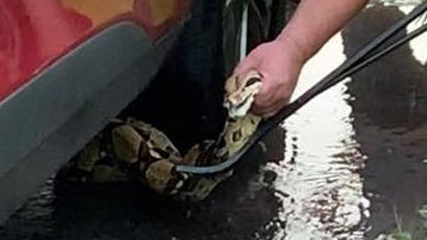 Connecticut police officers spent their Fourth of July wrangling a six-foot snake from underneath a vehicle in East Windsor.