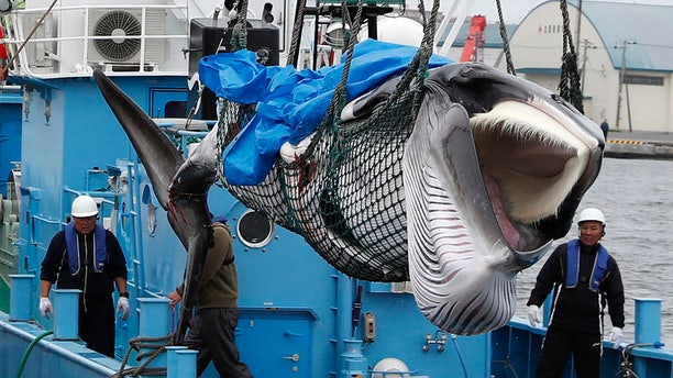 A whale is unloaded at a port in Kushiro, in the northernmost main island of Hokkaido, Monday, July 1, 2019. Japan is resuming commercial whaling after 31 years, meeting a long-cherished goal seen as a largely lost cause. Japan's six-month notice to withdraw from the International Whaling Commission took effect Sunday. (Masanori Takei/Kyodo News via AP)