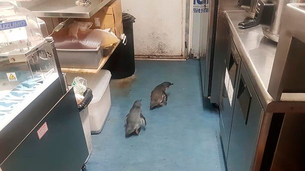 """A pair of """"vagrant"""" blue penguins have been forcibly removed after waddling into a New Zealand sushi shop and refusing to leave. (Shawnee Kim via AP)"""