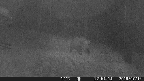 """Escape genius"" bear was last seenon the slopes of the Marzola mountain Tuesday night."