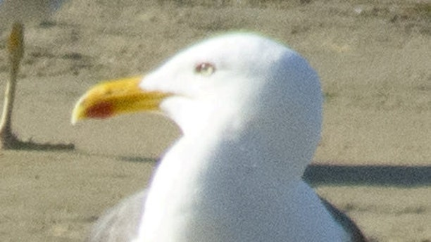 The seagull which was ringed on Burhou in the Channel islands and was later found in Spain more than 500 miles away.
