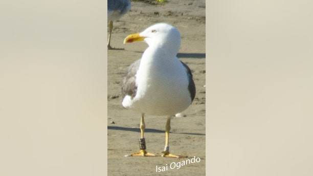 The seagull was photographed on a beach in Spain. (SWNS/Isai Ogando)