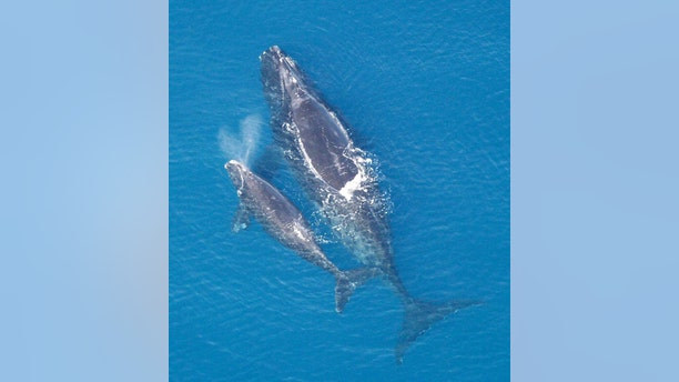 A female North Atlantic right whale with her calf. (Credit: Public Domain)