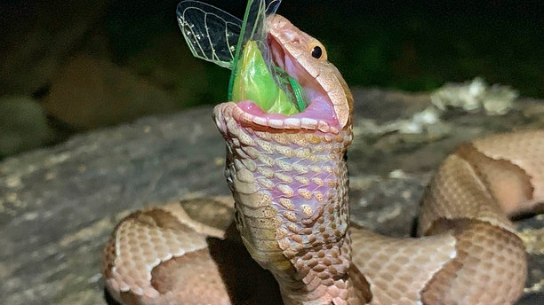 The copperhead finished swallowing the insect and then slithered off into the forest. (Charlton McDaniel via AP)
