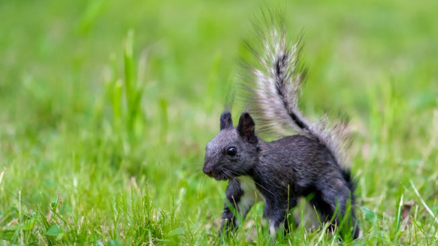 This member of the gray squirrel species has black fur. (Credit: Shutterstock)