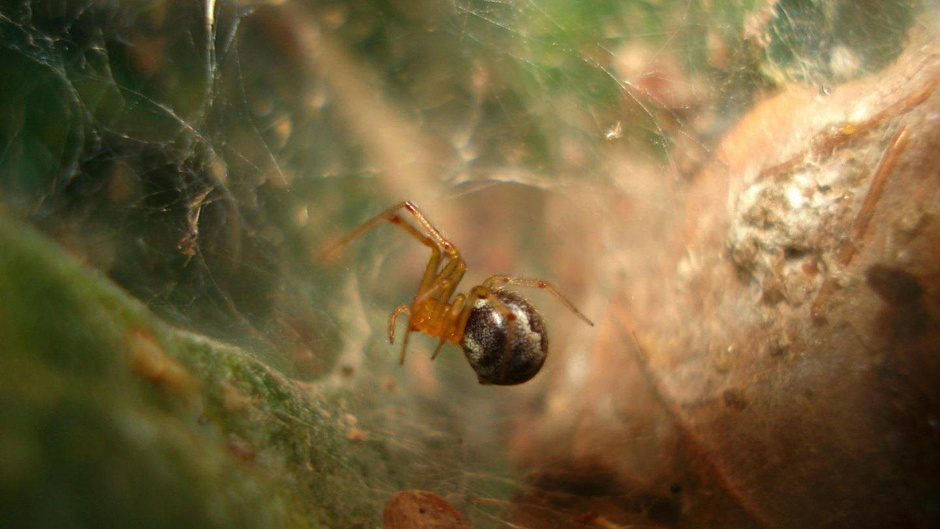 The spider, known as Anelosimus studiosus, which lives along the Gulf and Atlantic coasts of the United States and Mexico. (Credit: Thomas Jones)
