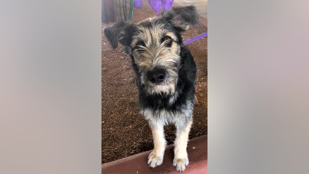 "Before he got the leading role in the new ""Lady and the Tramp"" live-action movie, Monte was in the Mesilla Valley Animal Shelter in Las Cruces and then transferred to HALO Animal rescue in Phoenix where he was adopted and cast in the movie."