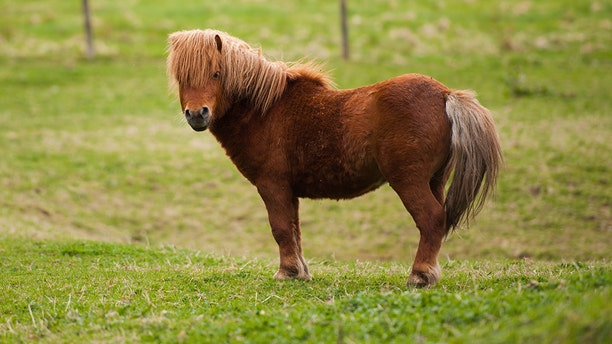 Miniature horses are officially allowed to fly as service animals in all cabins of commercial planes, as part of a new set of guidelines strengthening protections for emotional support and psychiatric service cats, dogs and the tiny equines.
