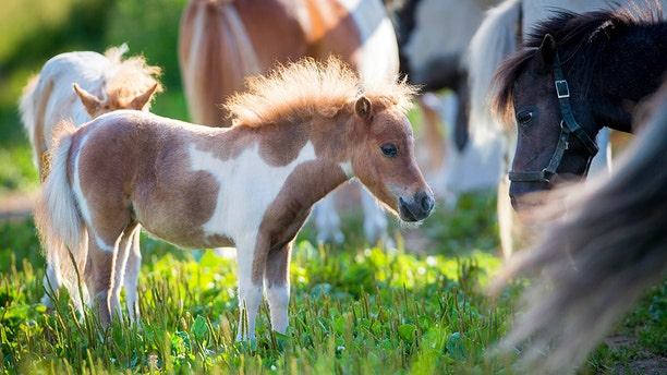 The announcement doesn't bind airlines to fly all service miniature horses by law, but does allude to penalties if carriers violate the new rule, CBS reports.