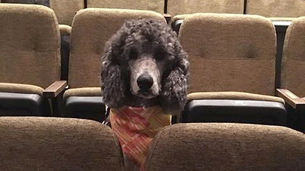 A scarf-wearing poodle attends the performanceduring the Stratford Festival in Ontario Canada.
