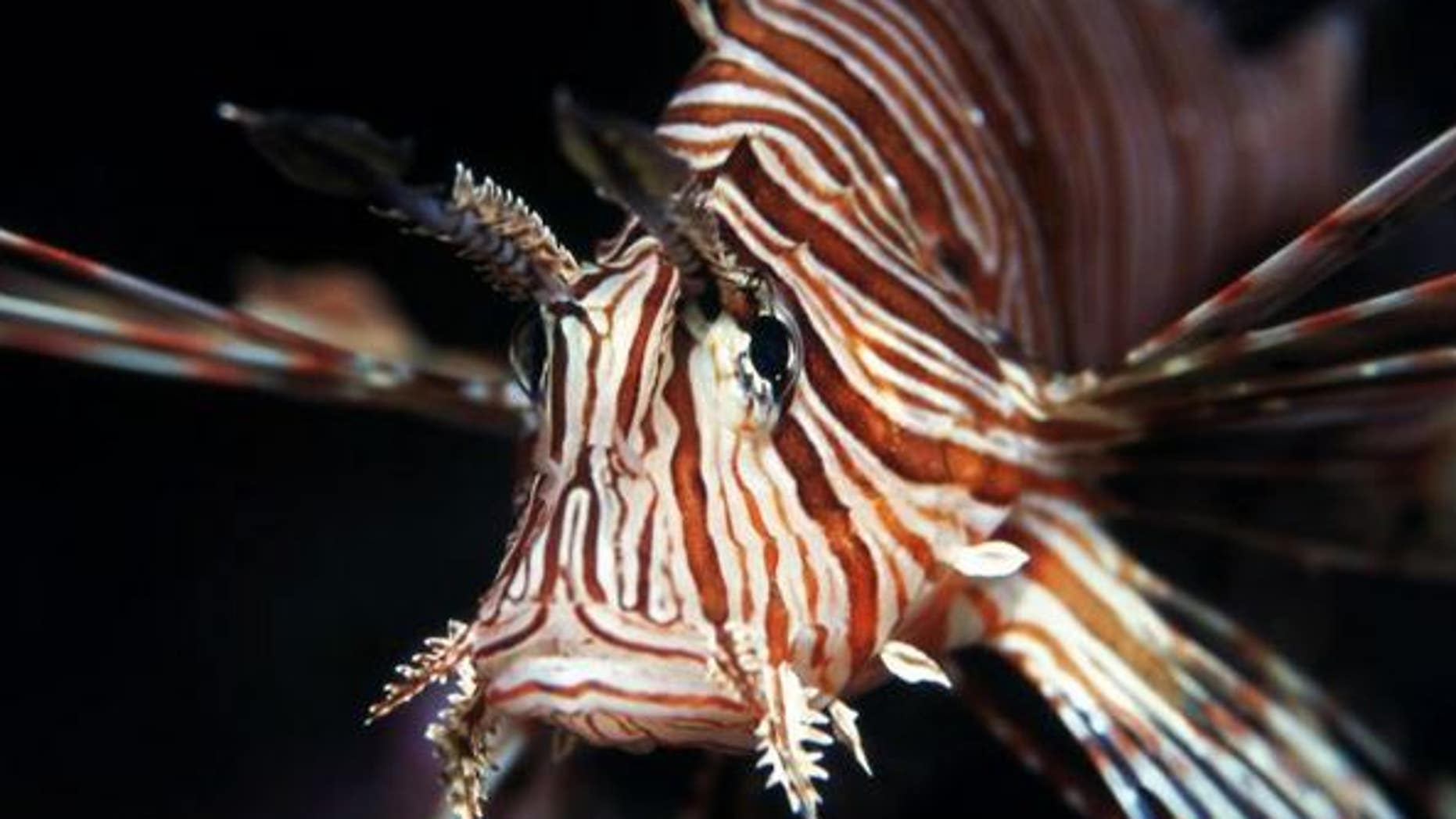 Westlake Legal Group lionfish-shutterstock The voracious and invasive lionfish is taking over the Atlantic. Here's why. LiveScience Grant Currin fox-news/science/wild-nature/fish fnc/science fnc cbe02811-3939-50e0-9e8b-15d6ef3eb2ed article