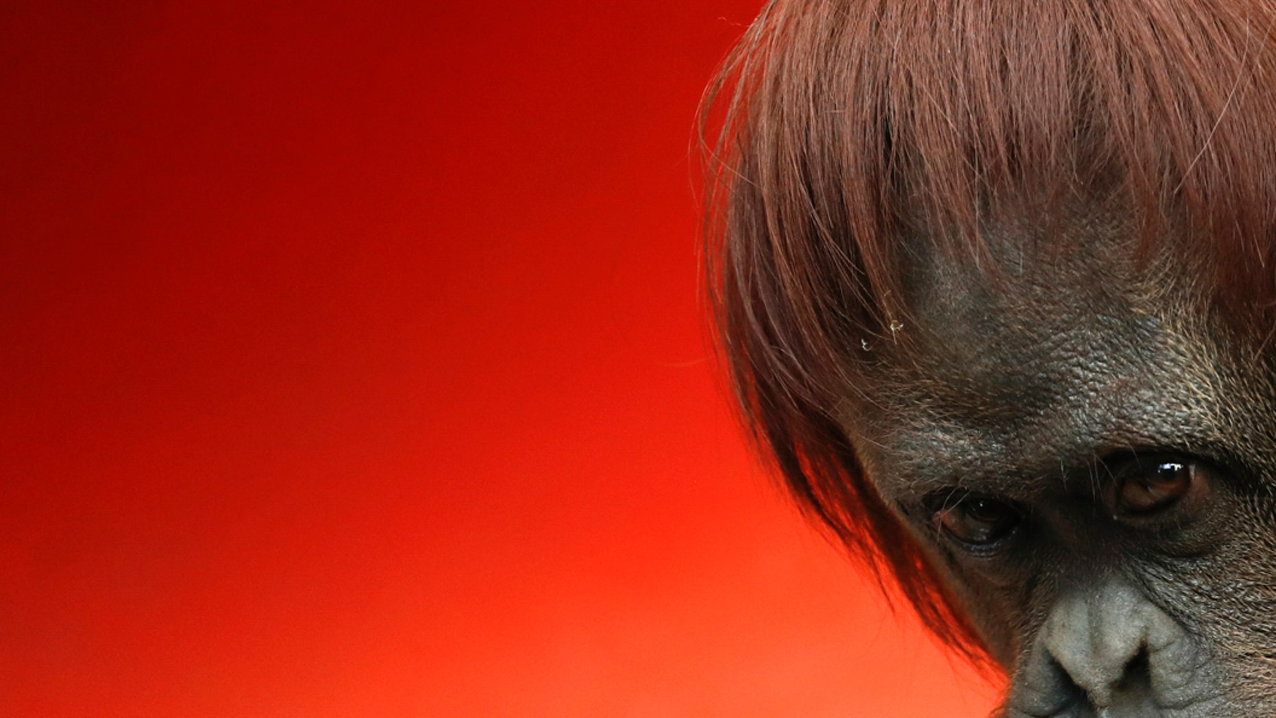 Westlake Legal Group sandra-the-orangutan Argentine orangutan Sandra to head to US great ape sanctuary fox-news/science/wild-nature/mammals fnc/science fnc ed5b1643-1e93-5de0-a6b5-5aa9bb96bd54 Associated Press article