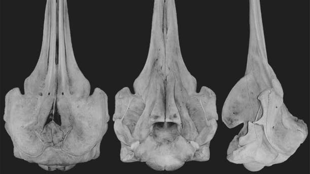 Dorsal, ventral, and lateral views of the<em>Berardius minimus</em> skull (From the left).