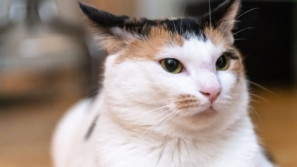 Close up of a healthy, beautiful cat.