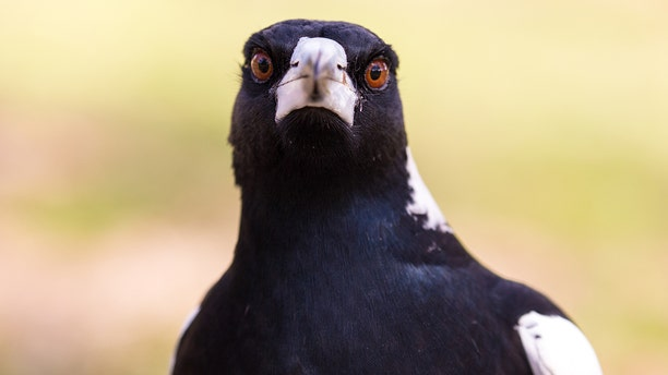 A magpie that was blamed for a string of swooping attacks in a Sydney neighborhood was shot down.