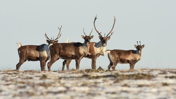 Hundreds of thousands of reindeer populate Finland. (iStock)