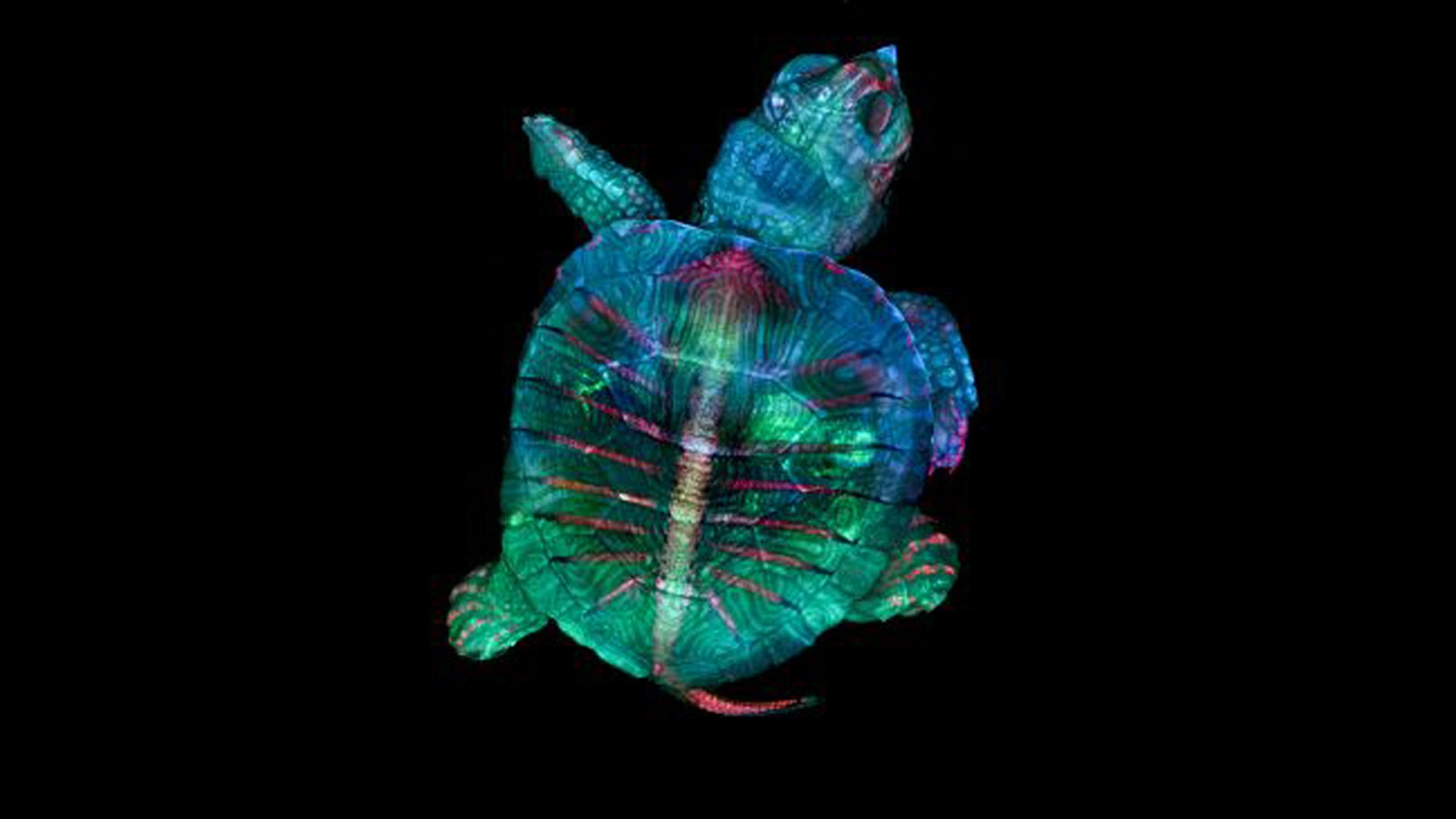 First place went to this colorful, fluorescent image of a tiny turtle embryo. (Credit: Teresa Zgoda and Teresa Kugler/Courtesy of Nikon Small World)